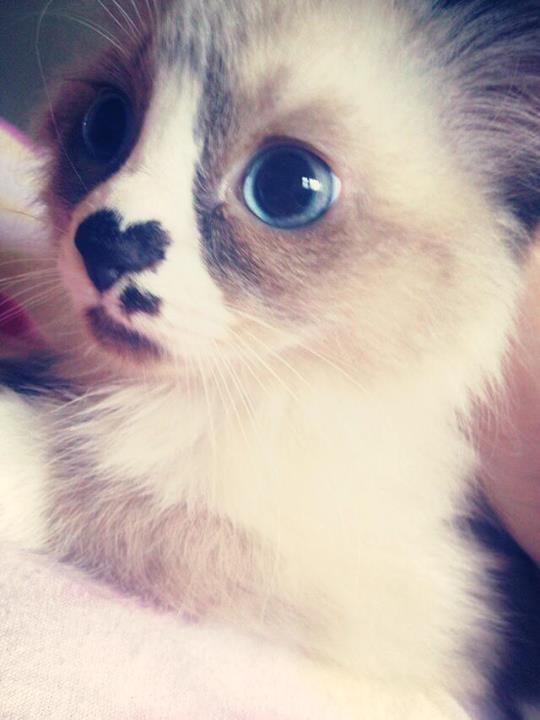 Katze mit Herz auf der Nase #cutepugpuppies