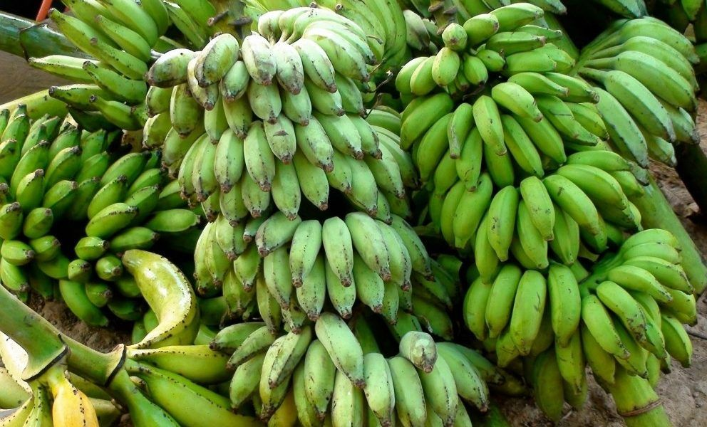 How To Start A Lucrative Plantain Farming Business In