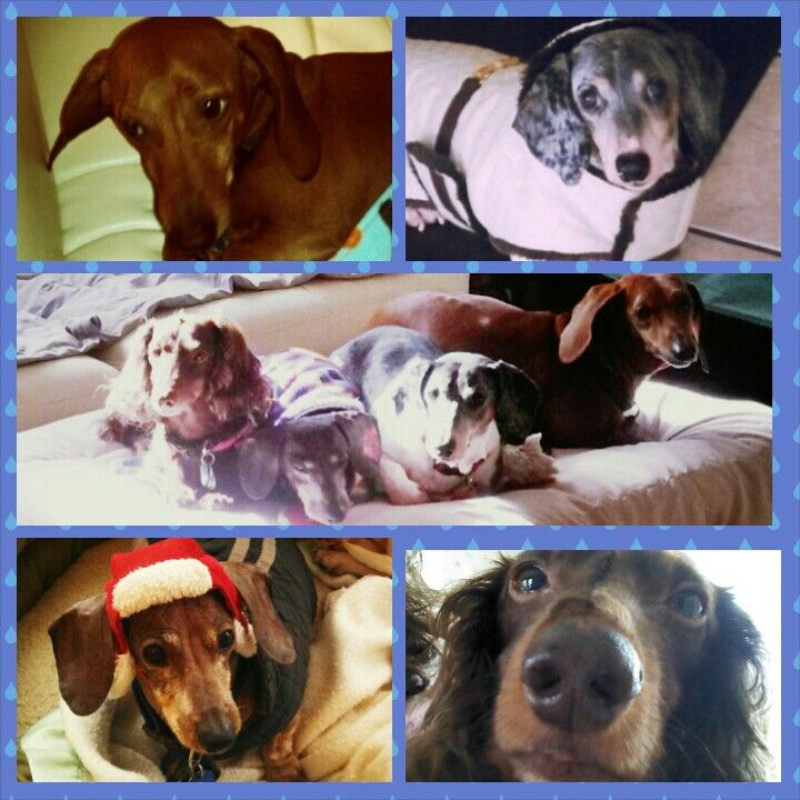 Wiener Dog Doxie Dachshund 4 Good Boys Jay Jay Howie Pete