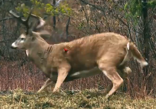 Best Shot Placement On Deer For Bowhunting Bow Hunting Pinterest