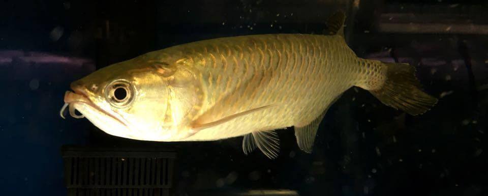 Jardini Arowana Large Monster Fishing Clown Loach Tropical Fish