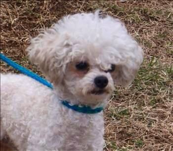 Adopt Garrett On Dogs Poodle Animal Rescue