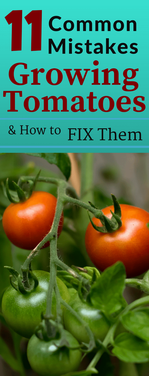 Common mistakes made when growing tomatoes can be avoided if you know how to fix them Nothing is more frustrating when you make a mistake and your tomato crop fails Learn...