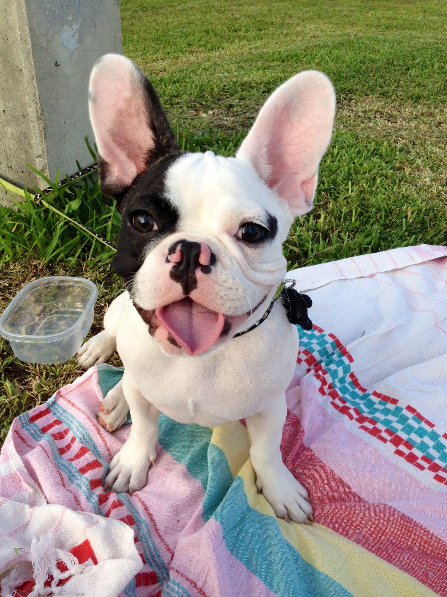 Meet Rocco The French Bulldog Puppy Too Cute Cute Animals