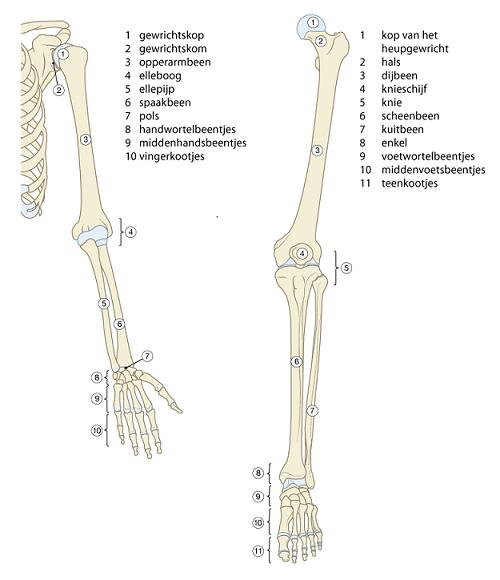 Verrassend botten van de arm - Google zoeken | Menselijk lichaam, Lichaam IV-33