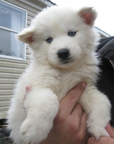 All White Husky Puppy I Want One Siberian Husky Pinterest