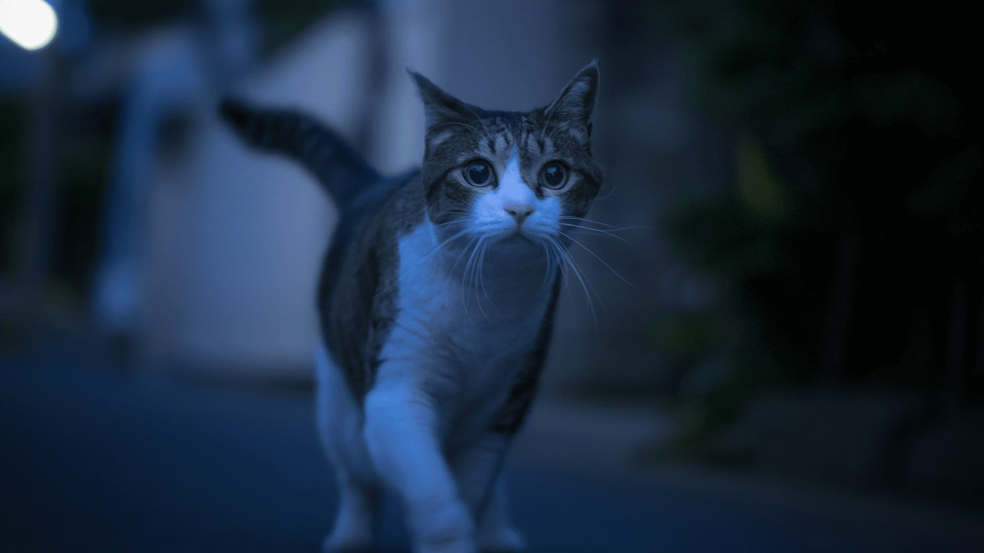 Why Is My Cat Crying At Night Purrfect Love Cat Crying Crying At Night Cats