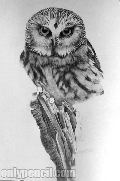Saw whet owl pencil drawing