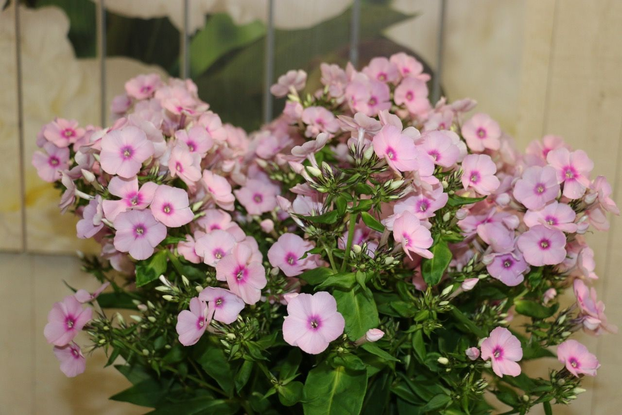#Phlox #SweetLexy; Available at www.barendsen.nl