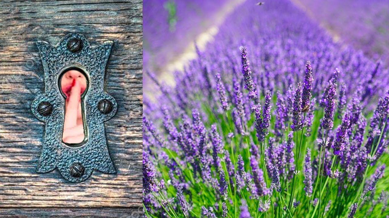 Best Secret To Germinate Lavender Seeds Soil Recipe Tips