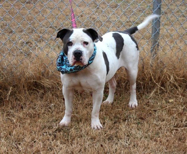 Adopt Rowan On Petfinder American Bulldog Mix American Bulldog Dogs