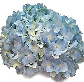 Our Wholesale Super Select Hydrangea Flowers Represent One Of The Largest Hydrangea Sizes Available Blue Hydrangea Blue Hydrangea Flowers Pale Blue Hydrangea