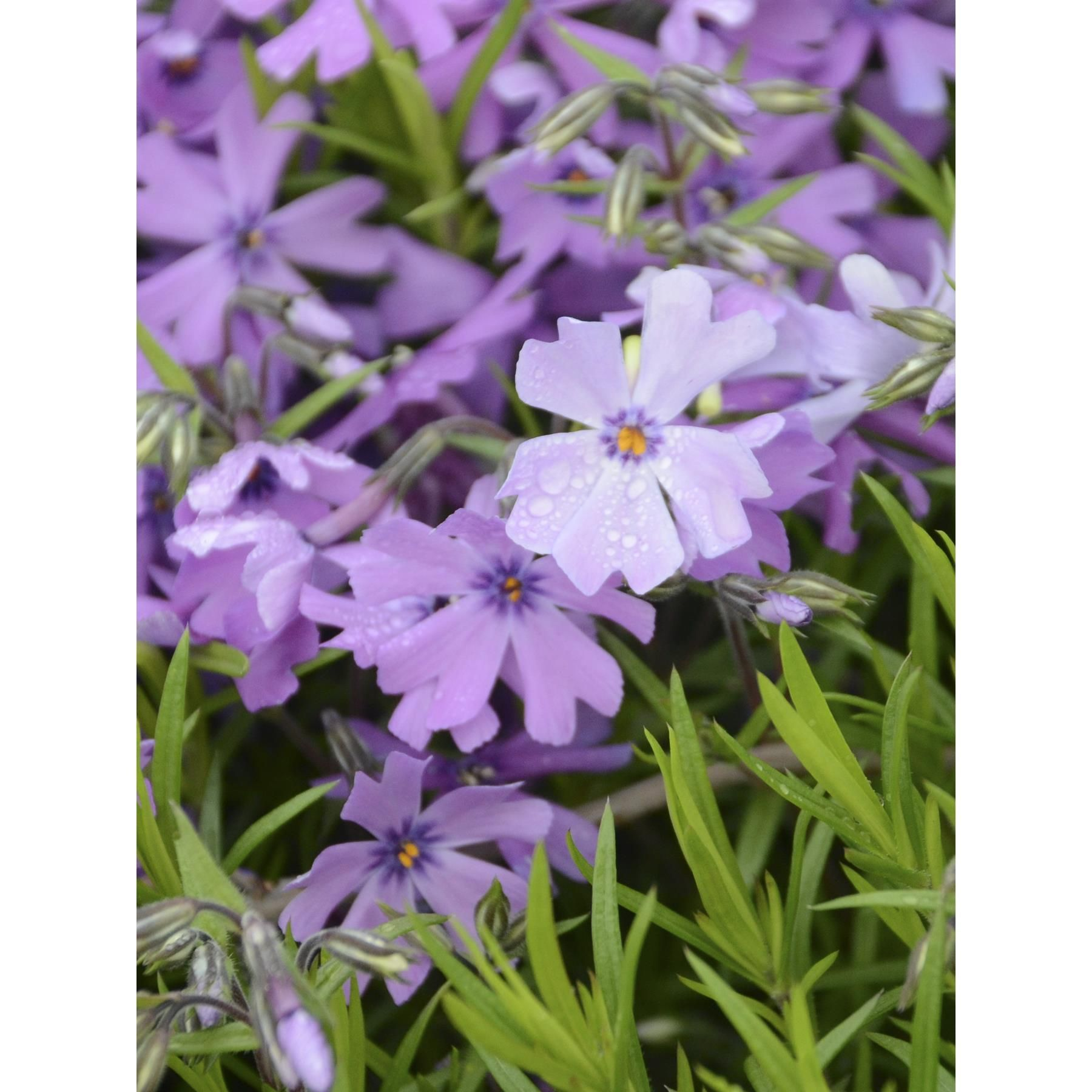 Perennial purple beauty creeping phlox as yard pinterest buy purple beauty phlox subulata featuring small purple flowers and vigorous green foliage no taller than 4 inches an excellent spring groundcover mightylinksfo