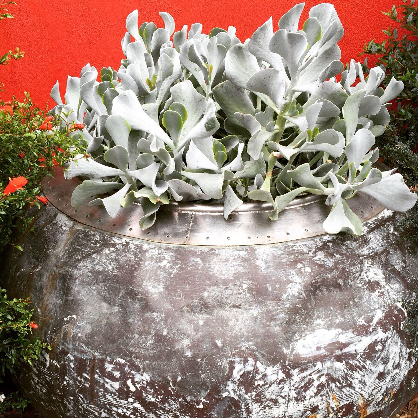 Cotyledon Orbiculata - Bulleen Art & Garden