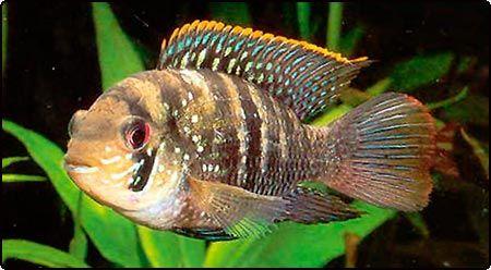 Blue Acara 2 2 Aquarium Fish Tropical Fish Cichlids