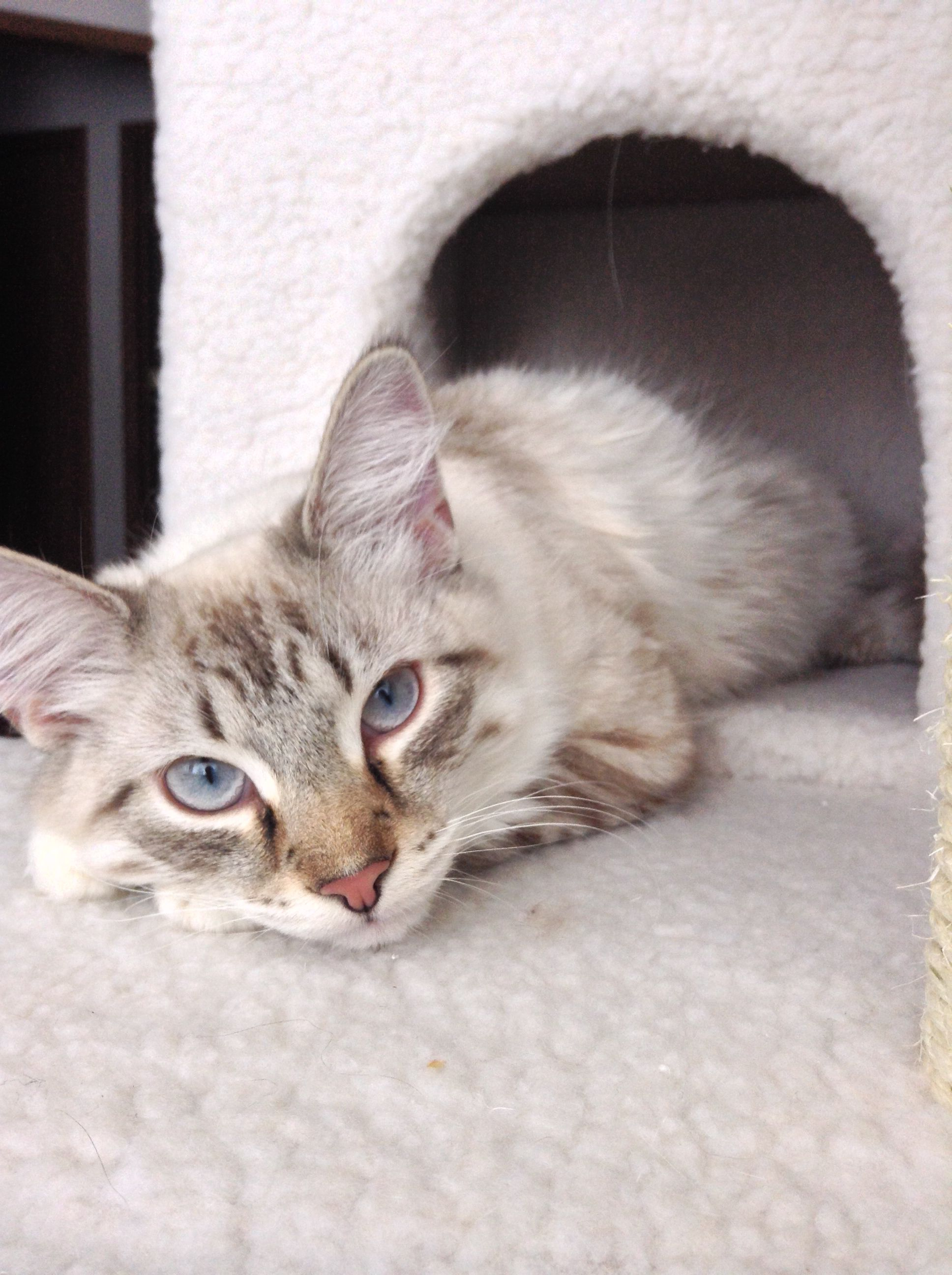 Siamese maine coon mix vivian Siamese maine coon mix