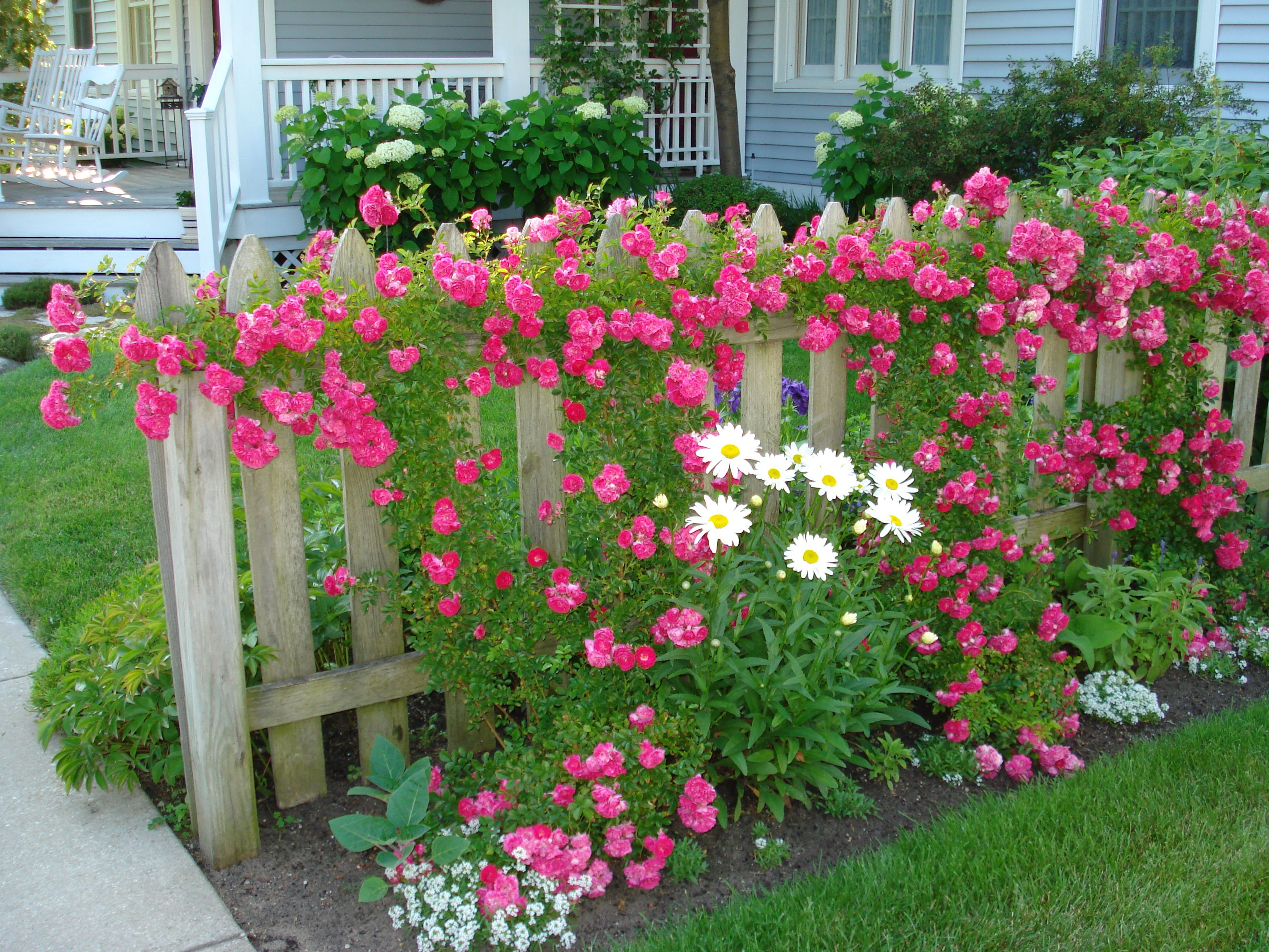 climbing roses on board fence