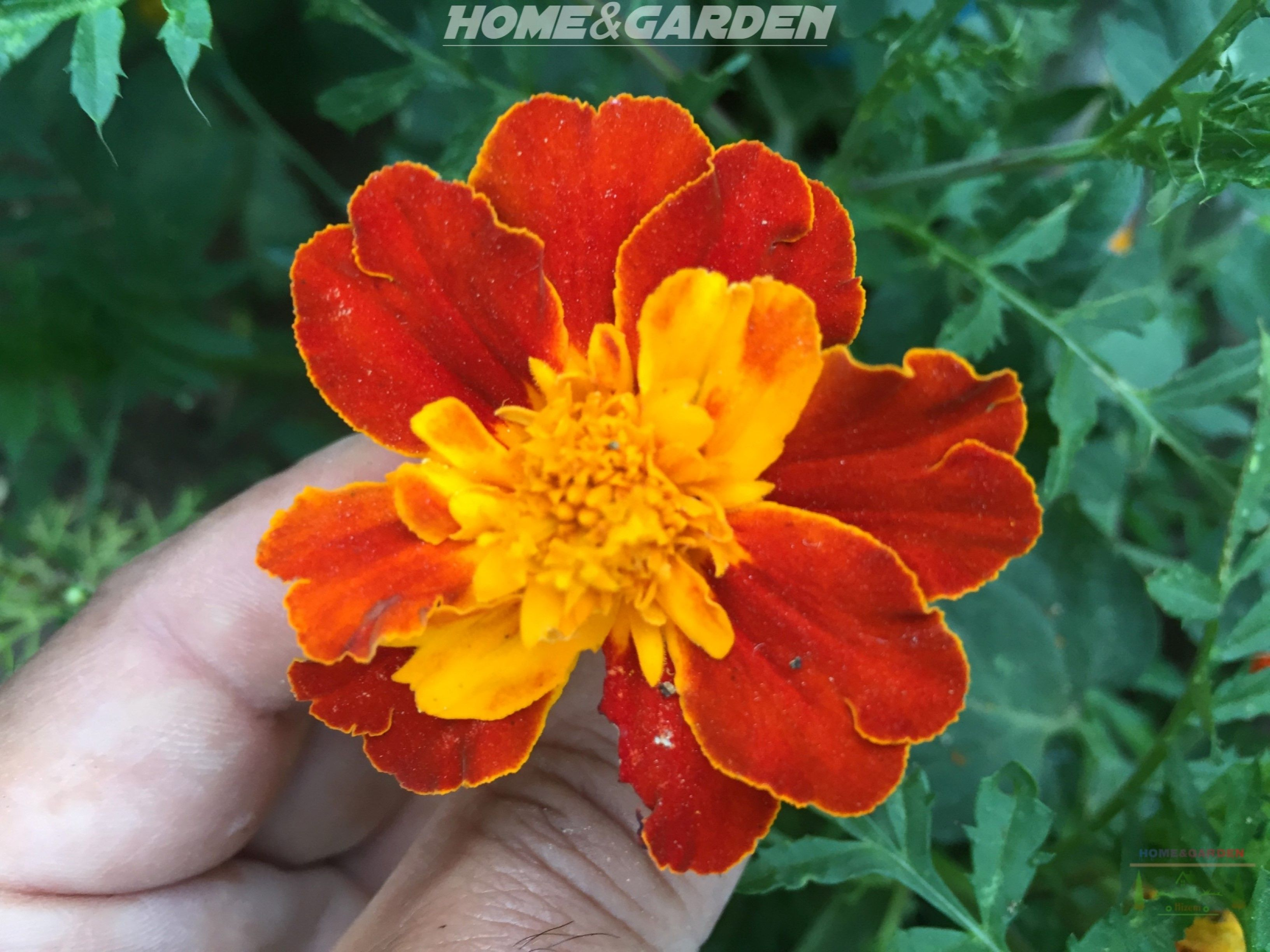 How To Grow Marigolds | Growing marigolds, Planting ...