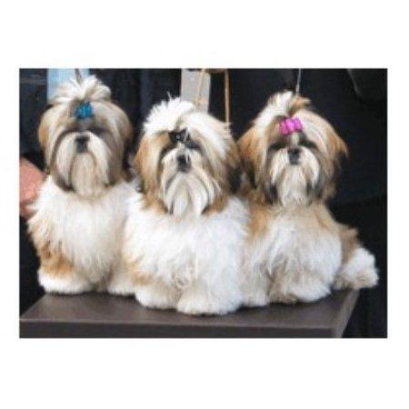 Chenille Shih Tzu Shih tzu, Shih tzu puppy, Shih tzu