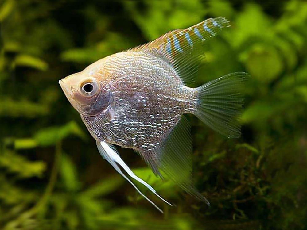 Silver Angelfish in 2020 | Angel fish, Silver diamonds ...