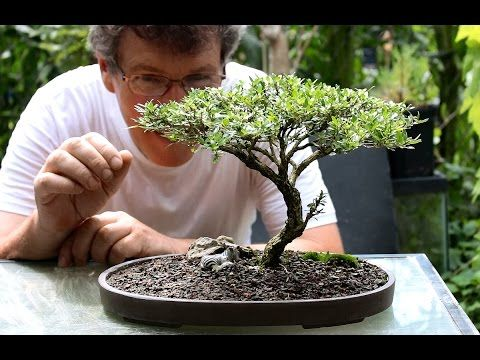 Remarkable 03 Bonsai Trees For Beginners Indoor Bonsai Trees Care Wiring 101 Cajosaxxcnl