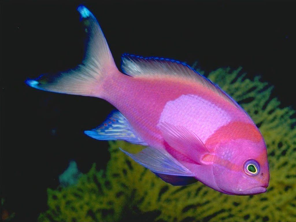 peces - Buscar con Google | peces | Pinterest | Peces rosados ...