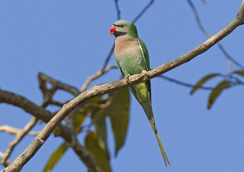 Mengetahui Perbedaan Burung Betet Jantan Dan Betina Paling Jelas Betet Betina Burung