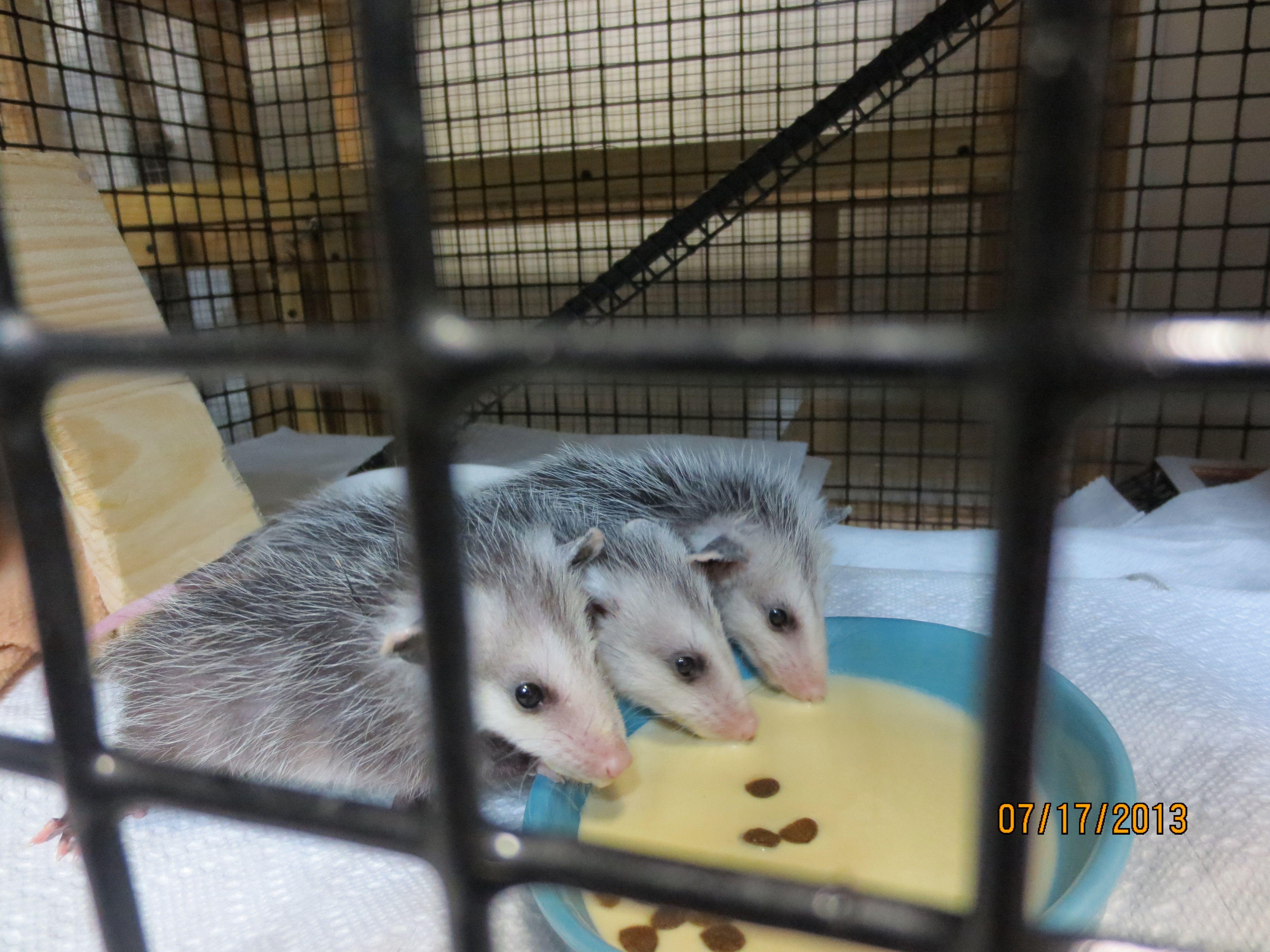 3 orphaned baby opossums Baby opossum, Wildlife