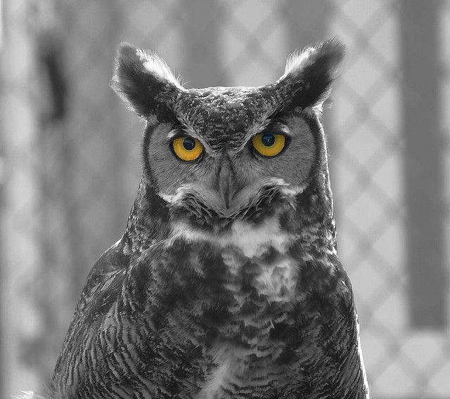 https://flic.kr/p/5Yp2cJ | Selective Owl | All the birds seen here are resident birds at the Bird Rescue Center in Santa Rosa, CA.  Each of them, for one reason or another, is unable to be released into the wild.  Most of them have been injured, some of them have been 'imprinted' and would be unable to hunt for themselves.  The volunteers at the Bird Rescue Center are wonderful, caring people and I hope there's a special place in heaven for people who care for sick and injured animals…