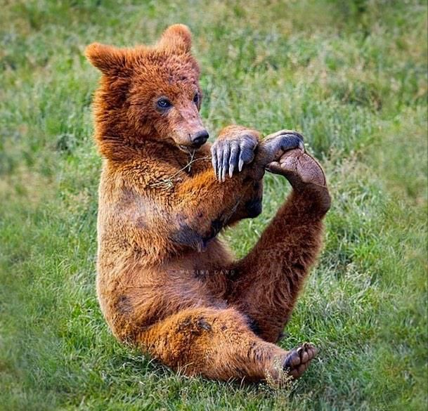 Stretch it out  #bearyoga #yoga #brownbear #yogibear