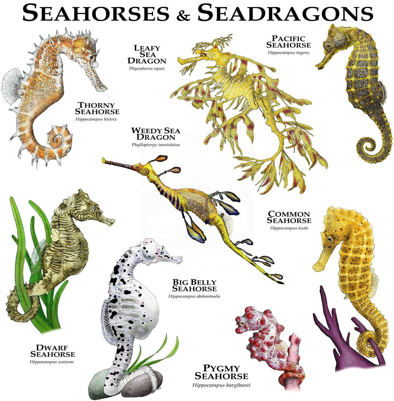 Seahorses Of The World Poster Print Weedy Sea Dragon Sea Dragon