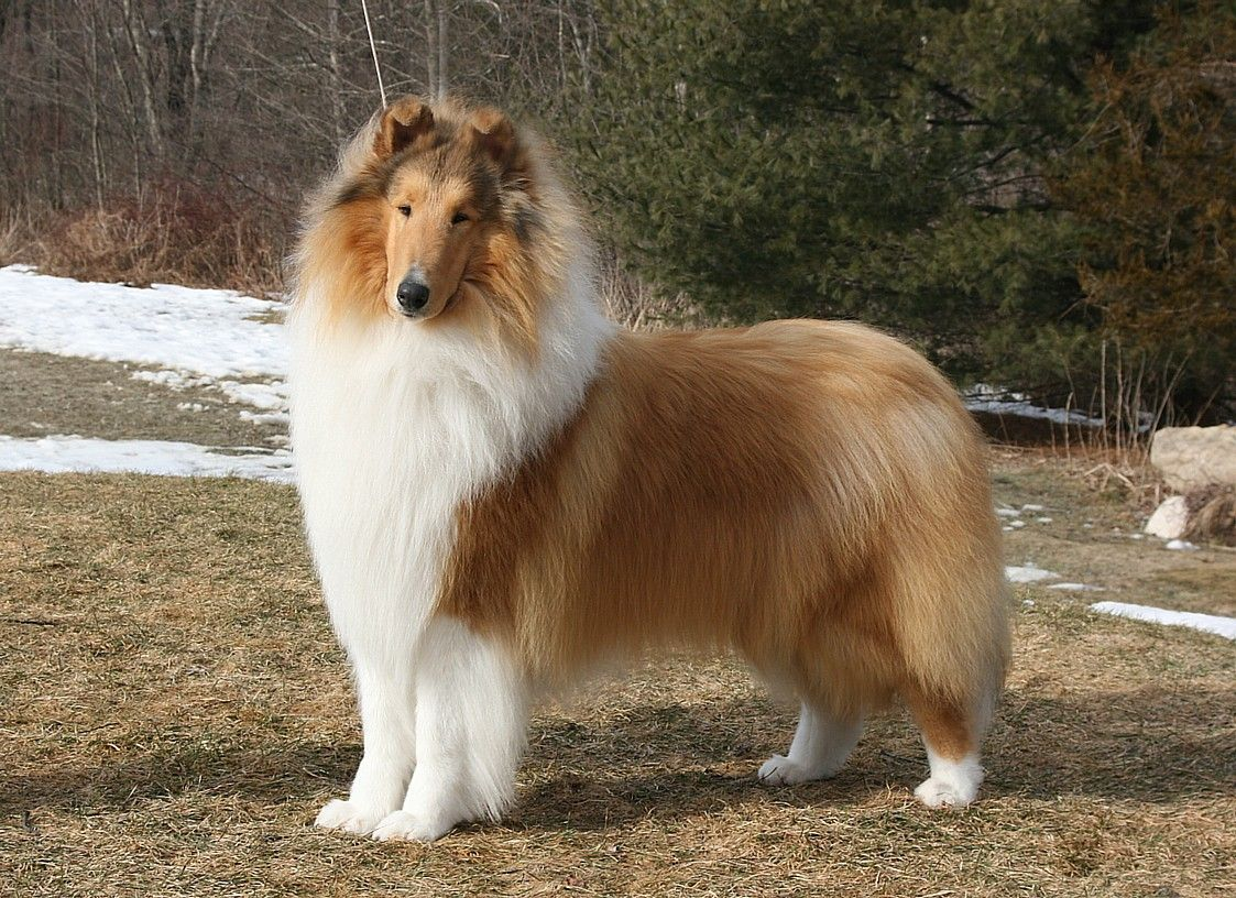 Rough Collie Homepage Of Alfenloch Rough Collies Collie