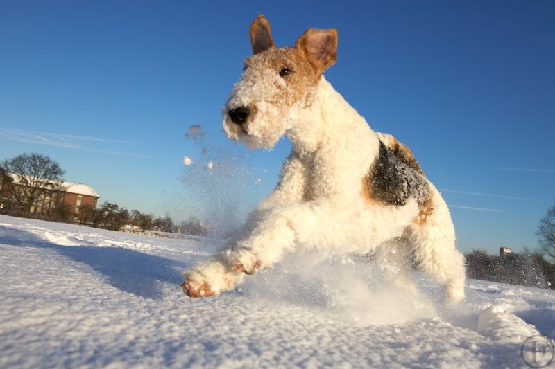 My favorite breed, a WFT enjoying the great snow of winter. Come to ...