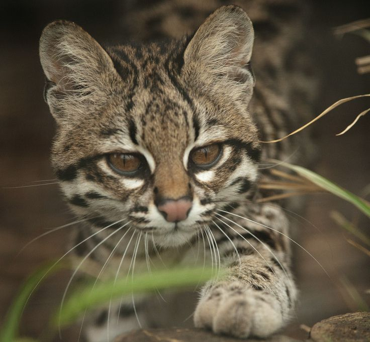 Baby Ocelot In The Wild