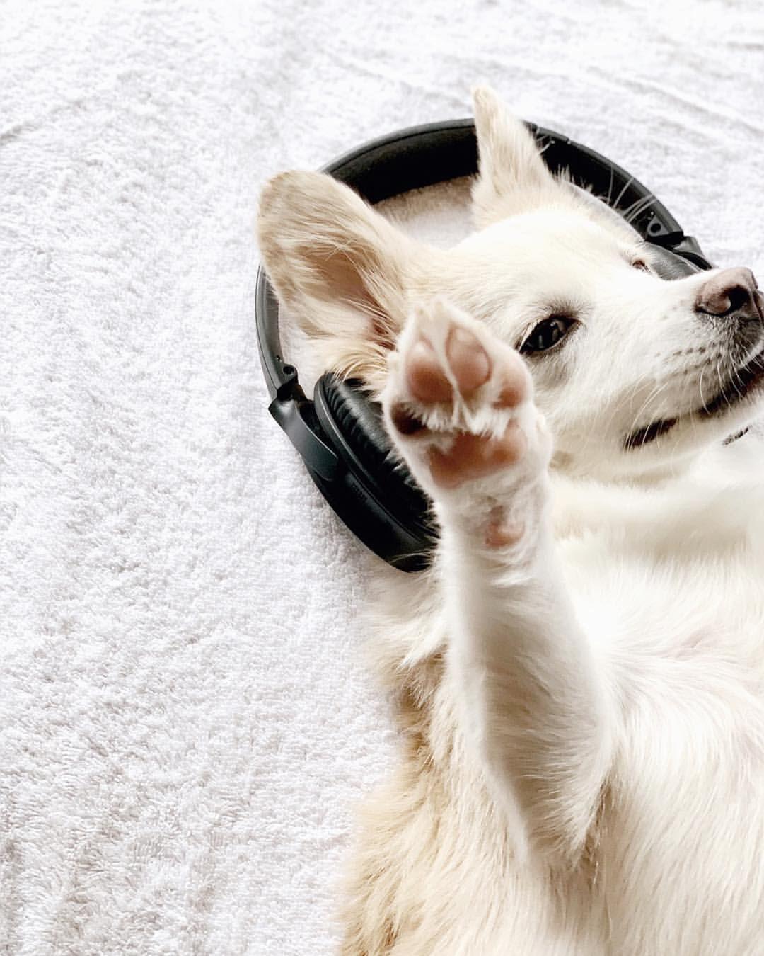 Cute Dog In Headphones Fa Lalalala Lala La La Christmas Carols On Repeat What S On Your Playlist Today Musicislife Christmas Carol Cute Dogs Carole