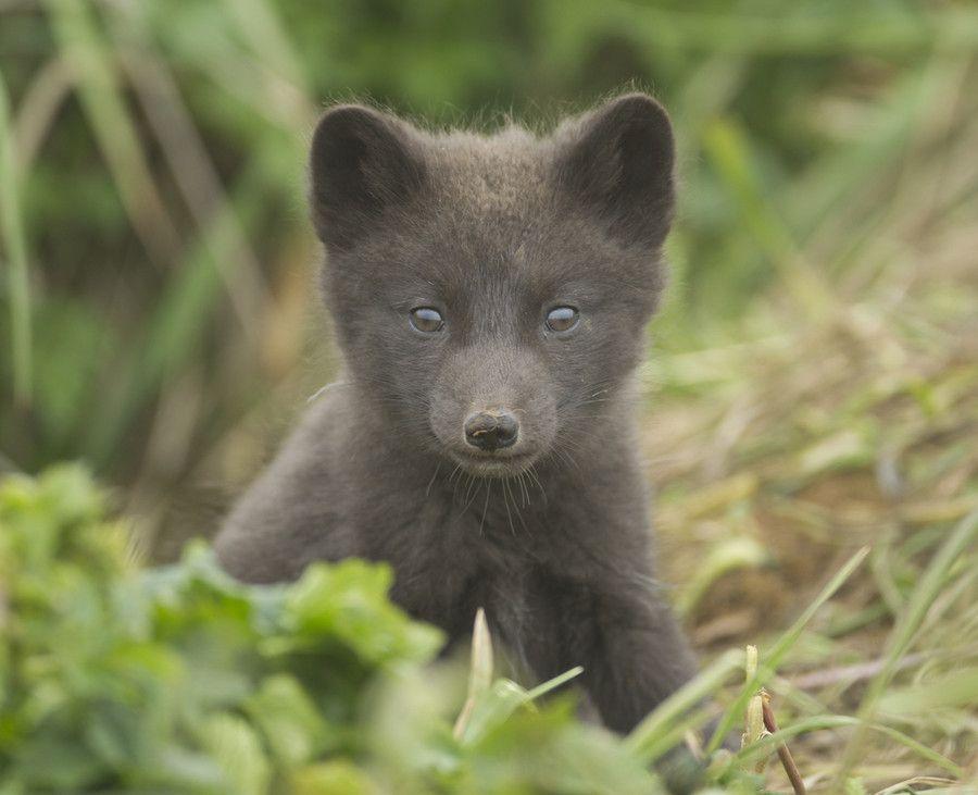 Arctic Fox Cub by Richard McManus on 500px