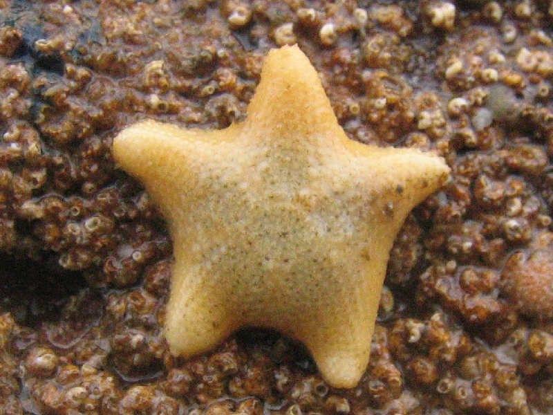 asterina gibbosa - Cushion star | Ocean dwellers, Starfish