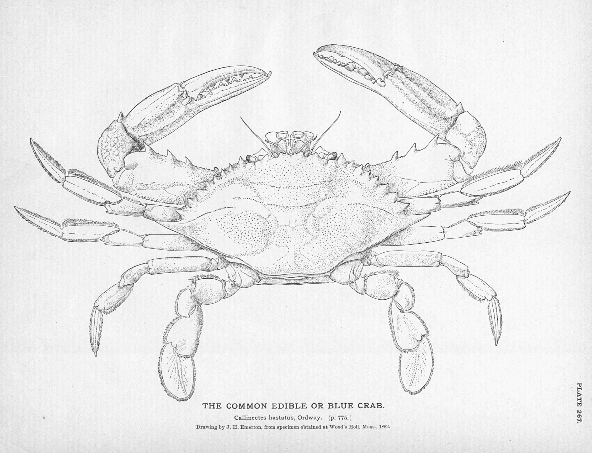 Animal Crustacean Crab Black And White Blue Crab Female