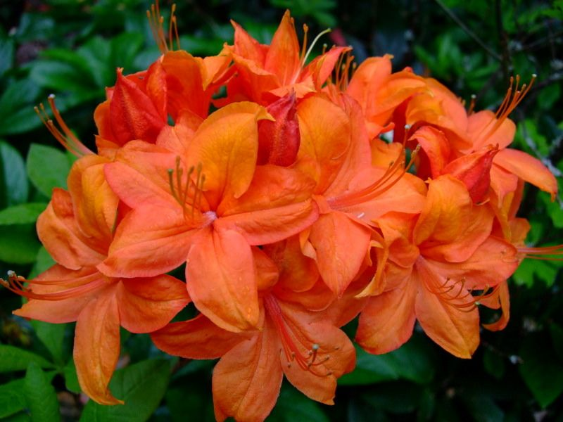 All sizes   Rhododendron   Flickr - Photo Sharing!