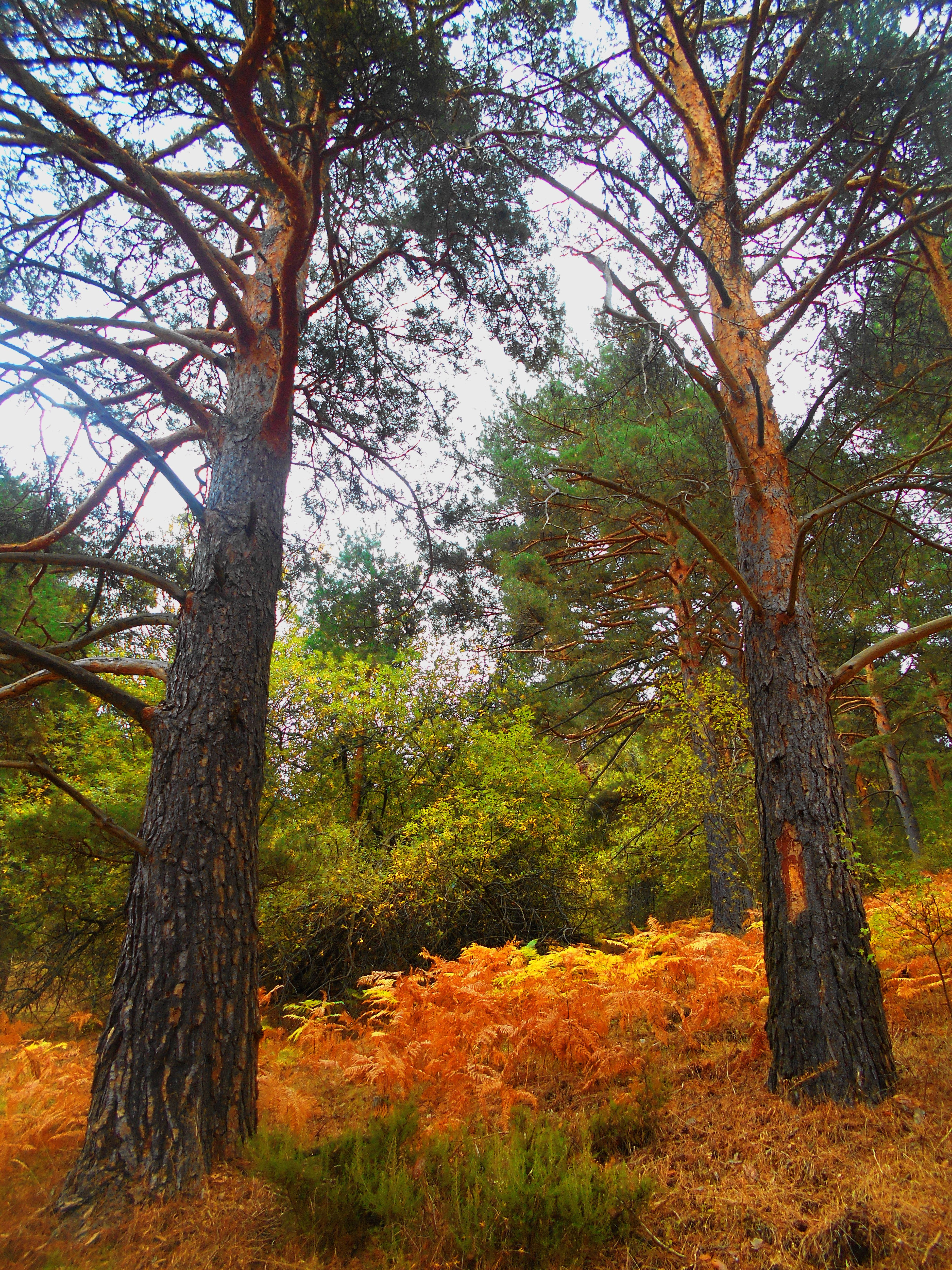 Alfombra de helechos bajo los pinos. Octubre 2015