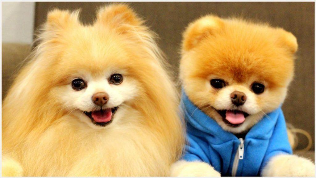 Pomeranian Puppies Book Dog Wallpaper
