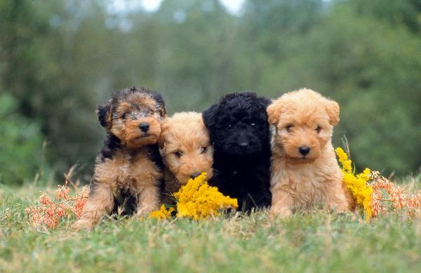 lakeland terrier puppy - Google Search | Cute baby animals ...