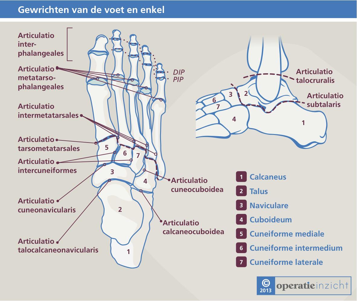 Gewrichten van de voet anatomie. | Anatomie-Fysiologie | Pinterest