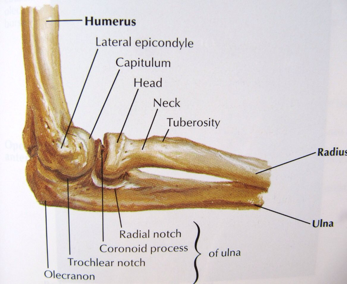 Bones of the elbow joint lateral view | Anatomy ...