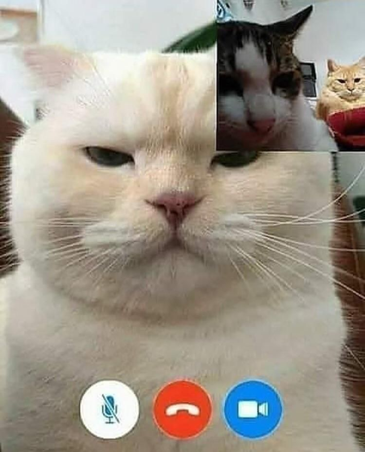 When You Are Video Calling Your Dad Funny Cats Cats Cute Animals