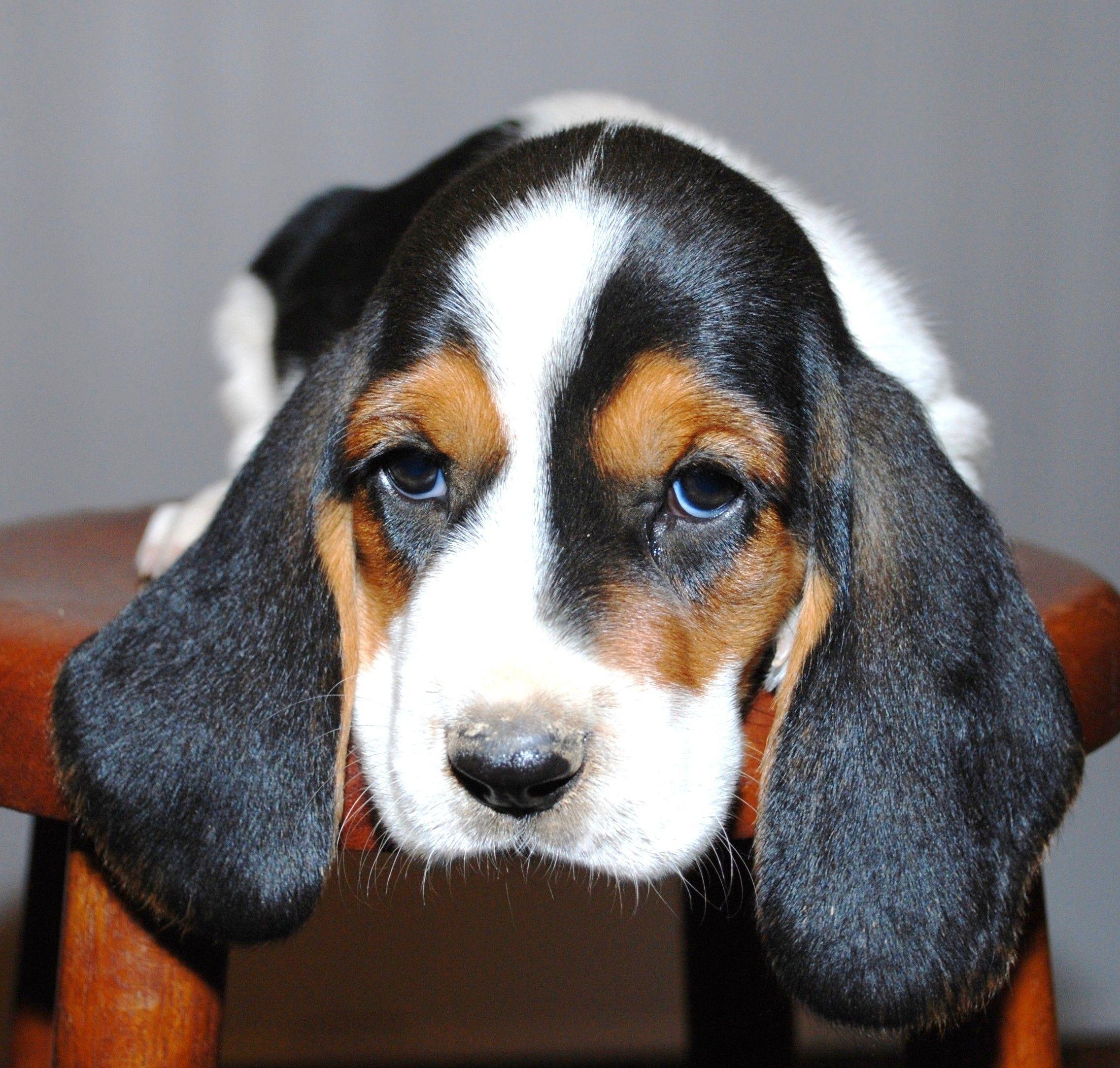 Cute Basset Hound Puppy | Animals | Pinterest