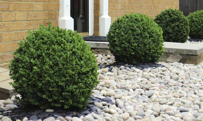 Boj Arbusto Arbustos Para Jardin Pinterest Pergolas and Gardens