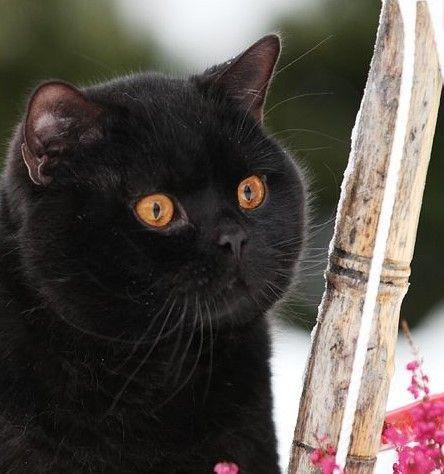 Noireau British Shorthair Cats Crazy Cats Beautiful Cats