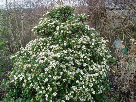 viburnum tinus 39 eve price 39 viburnum tinus laurustinus long winter blooms winter garden. Black Bedroom Furniture Sets. Home Design Ideas