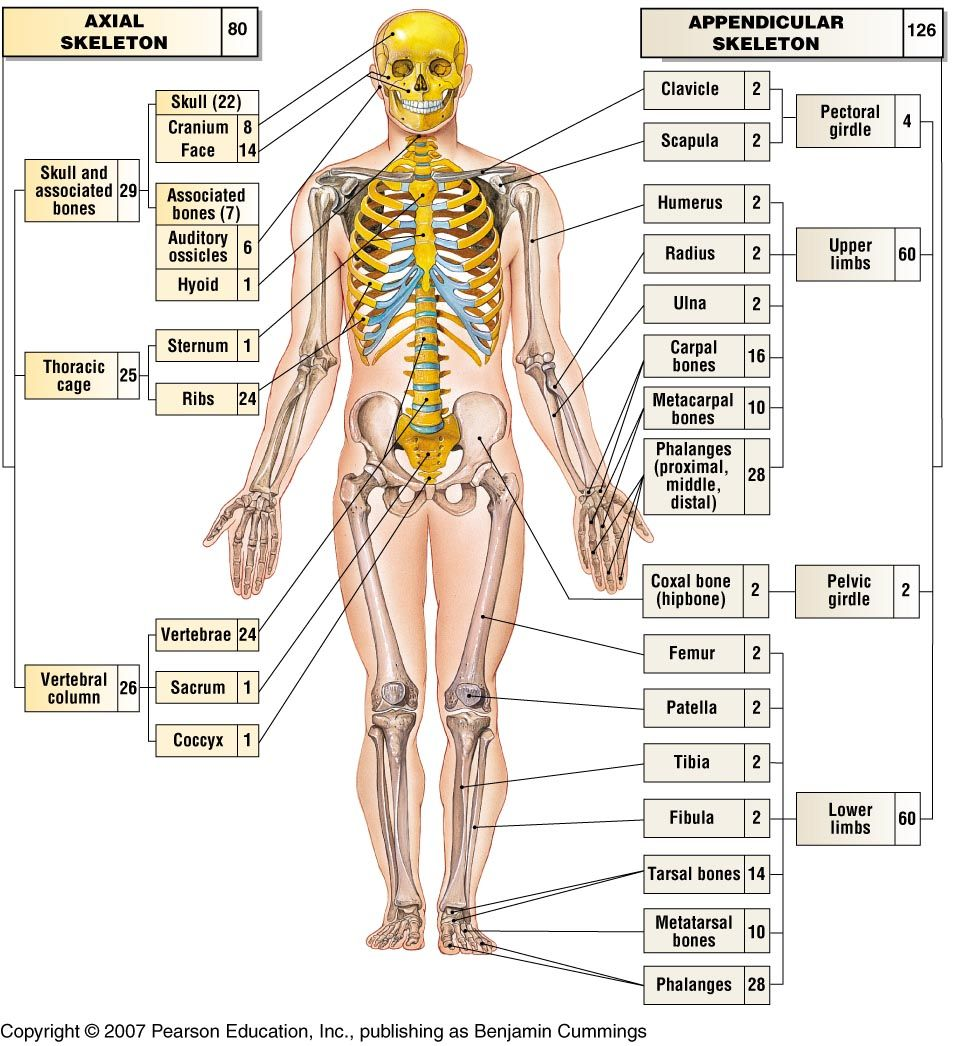 axial skeleton worksheet Termolak – Axial Skeleton Worksheet